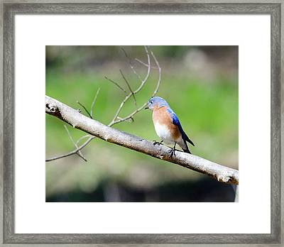 Eastern Bluebird Framed Print by George Randy Bass