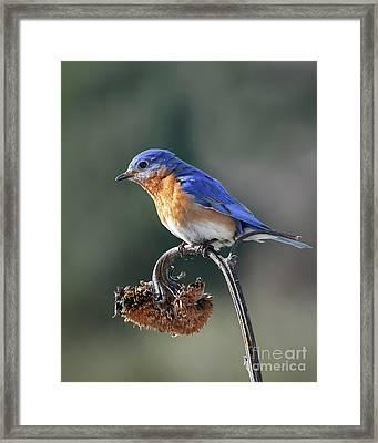 Eastern Bluebird In Spring Framed Print