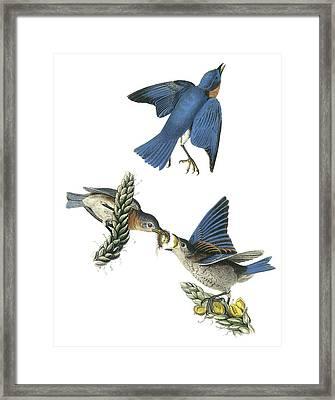 Eastern Bluebird Framed Print by John James Audubon
