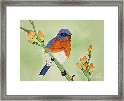 Eastern Bluebird Framed Print by Norma Appleton