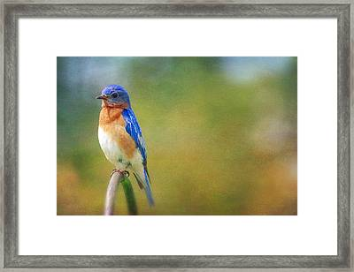 Framed Print featuring the photograph Eastern Bluebird Painted Effect by Heidi Hermes