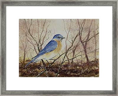 Eastern Bluebird Framed Print by Sam Sidders