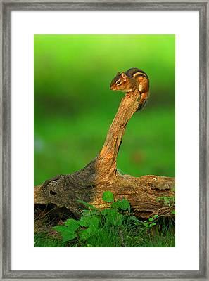 Eastern Chipmunk Framed Print by Alan Lenk
