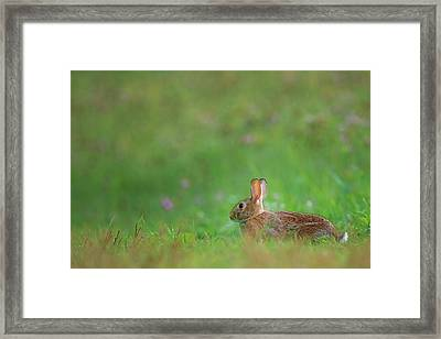 Eastern Cottontail 2016 Framed Print