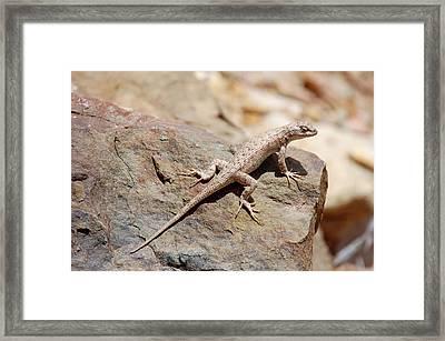 Eastern Fence Lizard, Sceloporus Undulatus Framed Print