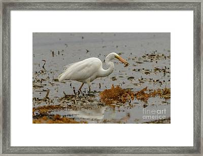 Eastern Great Egret 10 Framed Print
