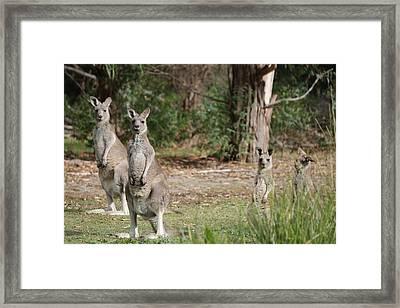 Eastern Grey Kangaroo Family Framed Print by Roo Printz