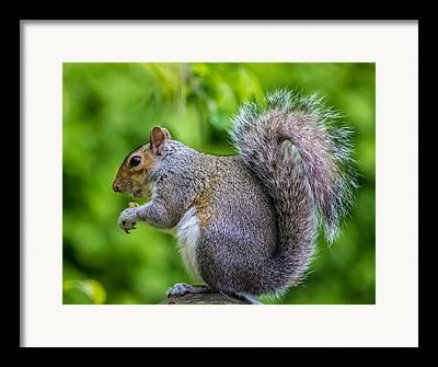 Eastern Grey Squirrel Framed Prints