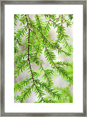 Framed Print featuring the photograph Eastern Hemlock Tree Abstract by Christina Rollo