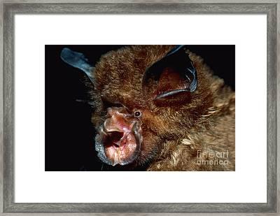 Eastern Horseshoe Bat Framed Print