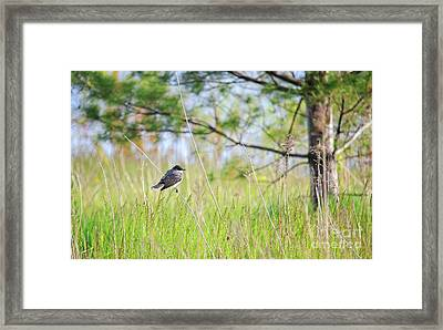 Eastern Kingbird Framed Print by Charline Xia