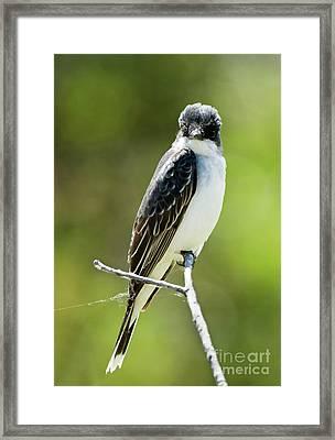 Eastern Kingbird Stare Framed Print by Mike Dawson