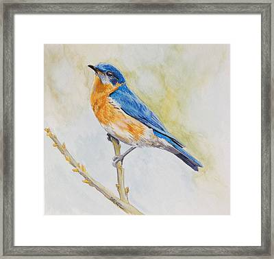 Eastern Mountain Bluebird Framed Print