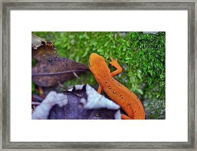 Eastern Newt Framed Print by David Rucker