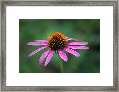 Eastern Purple Coneflower Framed Print