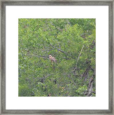 Eastern Red Tailed Hawk Framed Print by Ruth Housley