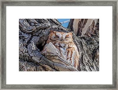 Eastern Screech-owl Roosting Framed Print by Morris Finkelstein