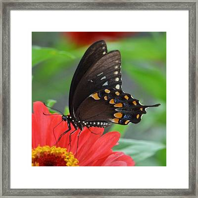 Eastern Swallowtail Framed Print