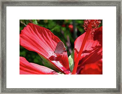 Eastern Tailed Blue Butterfly On Red Flower Framed Print