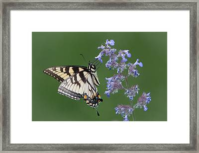 Eastern Tiger Swallowtail Profile Framed Print by Patti Deters