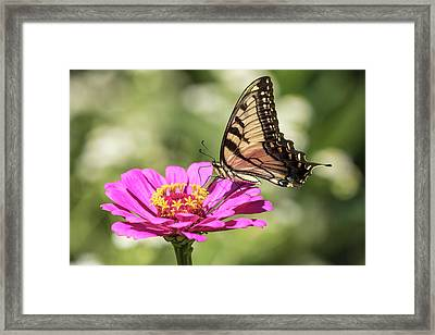 Eastern Tiger Swallowtail 2016-1 Framed Print