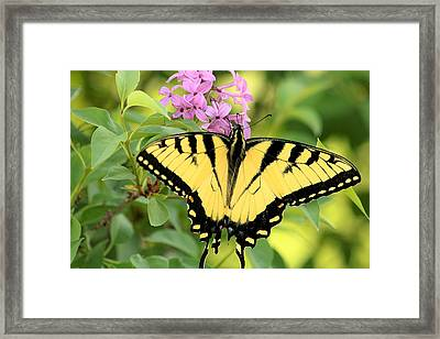 Eastern Tiger Swallowtail Butterfly Framed Print by Sheila Brown