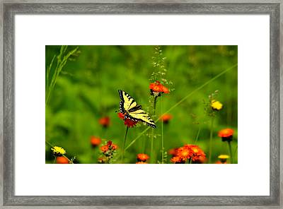 Eastern Tiger Swallowtail  Framed Print by Debbie Oppermann