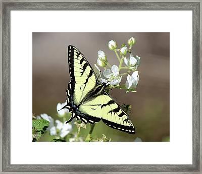 Eastern Tiger Swallowtail Female Framed Print