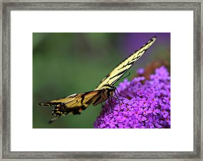 Framed Print featuring the photograph Eastern Tiger Swallowtail by Juergen Roth