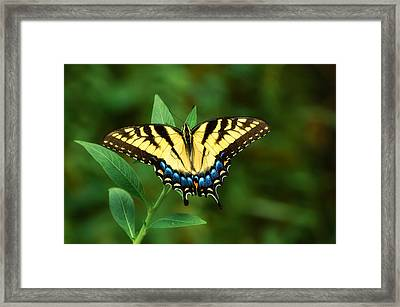 Eastern Tiger Swallowtail Framed Print by Rich Leighton