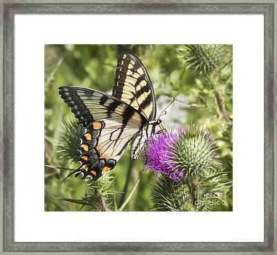 Eastern Tiger Swallowtail Framed Print by Ricky L Jones