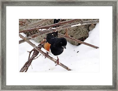 Eastern Towhee Framed Print by Debbie Oppermann