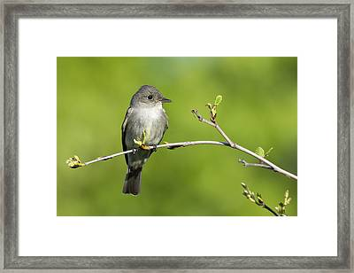 Eastern Wood Pewee Flycatcher Framed Print by Birds Only
