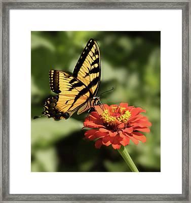 Eastern Yellow Swallowtail Framed Print