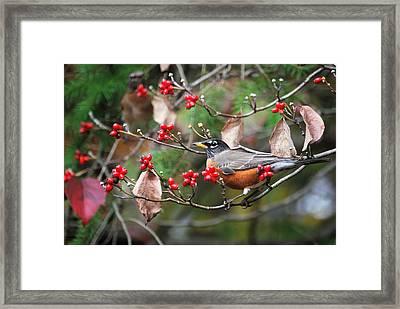 Easy Pickings Robin Framed Print