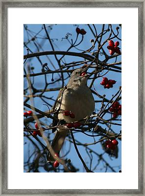 Framed Print featuring the photograph Eating Berries by Cathy Harper