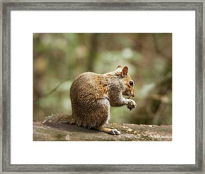 Eating Squirrel Framed Print by Jean Noren