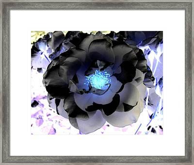 Ebony Rose Framed Print by Will Borden