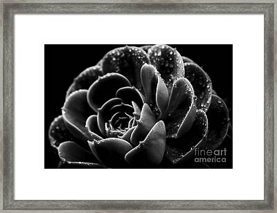 Echeveria Elegans X Lola Succulent Black Framed Print by Sharon Mau