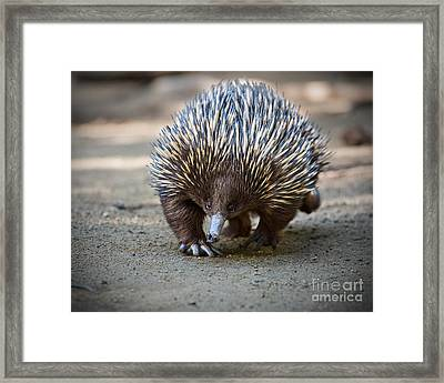 Echidna Waddle Framed Print by Jamie Pham