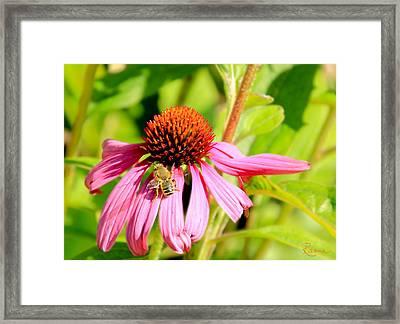 Echinacea Bee Framed Print