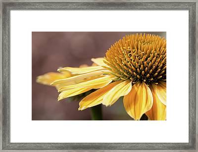 Echinacea, Cheyenne Spirit - Framed Print