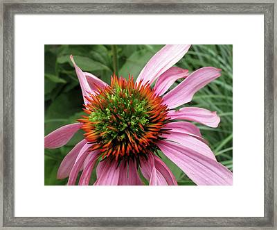 Echinacea Close  Framed Print by Lyle Crump