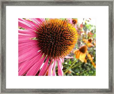 Echinacea Garden Framed Print by Nicole I Hamilton