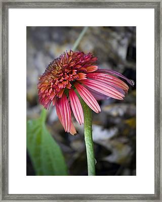 Echinacea Hot Papaya Framed Print by Teresa Mucha