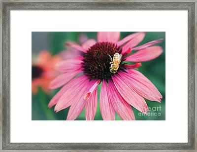 Echinacea - Kula Maui Hawaii Framed Print by Sharon Mau