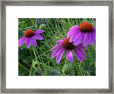 Echinacea Framed Print by Mikki Cucuzzo