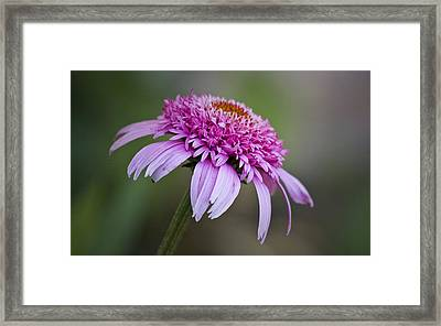 Echinacea Pink Double Delight Framed Print by Teresa Mucha