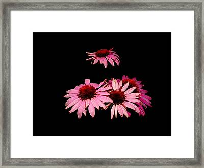 Echinacea Pop Framed Print