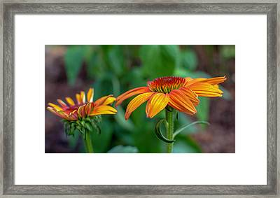 Echinacea Side View Framed Print